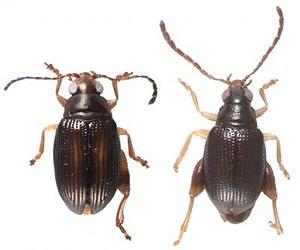 http://www.spacedaily.com/images-lg/beetle-arsipoda-geographica-rostrata-lg.jpg
