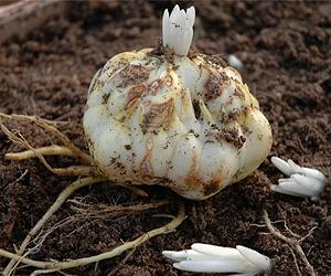 Images of Easter Lily Bulbs - The Miracle of Easter