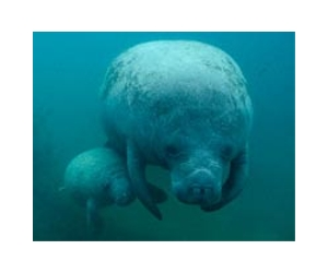 high manatee dolphin deaths puzzle us officials